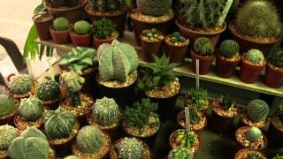 Baby Cactus For Sale At The Famous Weekend Market Of Bangkok, Thailand