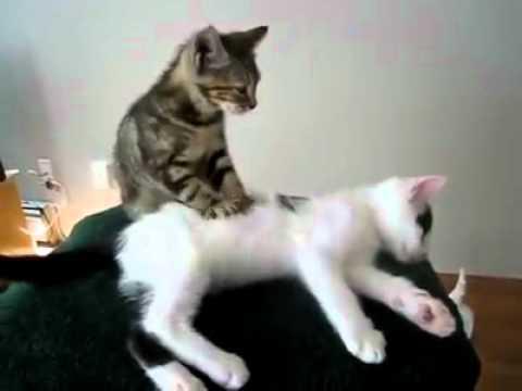il gatto massaggiatore - video divertente animali