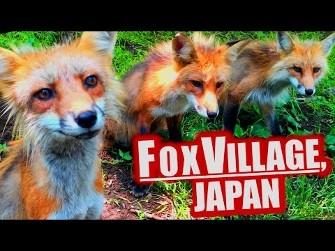 Video Fox Village, Japan: Cutest Place on Earth download in MP3, 3GP, MP4, WEBM, AVI, FLV January 2017