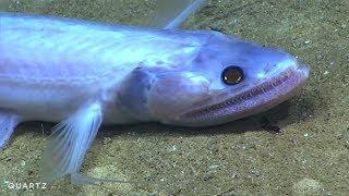 Невиданные существа морских глубин у берегов Пуэрто–Рико