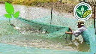 Thủy sản | Nuôi tôm ghép với cá điêu hồng: Một sự kết hợp hoàn hảo