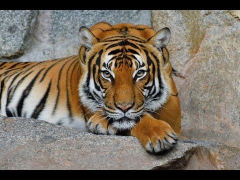 Тигр — вид хищных млекопитающих.