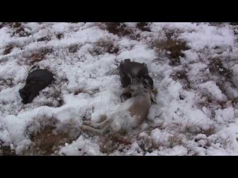 Hawking Blue hares in the highlands...