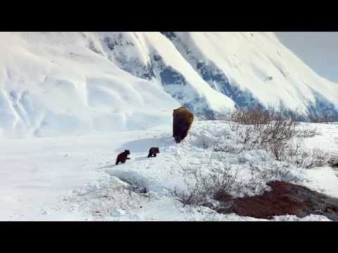 Bears Clip 'First Steps'