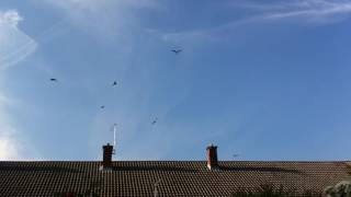 Red Kites over Wallingford