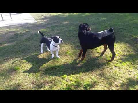Video MACHO THE ROTTWEILER AT THE DOG PARK download in MP3, 3GP, MP4, WEBM, AVI, FLV January 2017