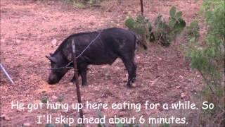 Video Archery Boar Hog Hunt MP3, 3GP, MP4, WEBM, AVI, FLV Mei 2017