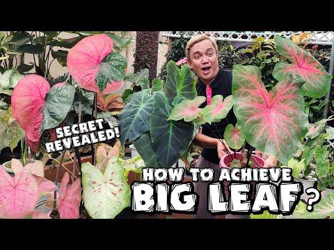 SECRETS ON HOW TO ACHIEVE BIG LEAF OF CALADIUM | PLANT CARE TIPS