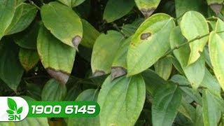 Trồng trọt | Phòng trị cây tiêu bị bệnh thán thư