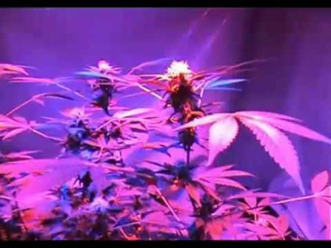 90 watt UFO Led grow lights indoor plant cannabis 14 weeks harvest