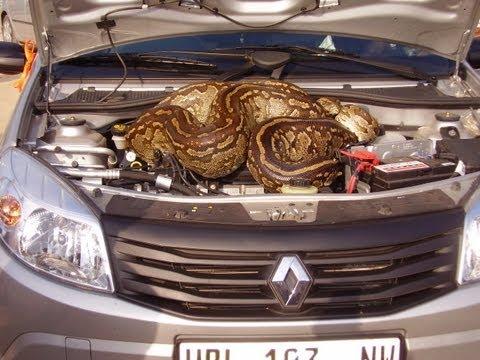 Enorme serpiente pitón bajo el capot de un auto