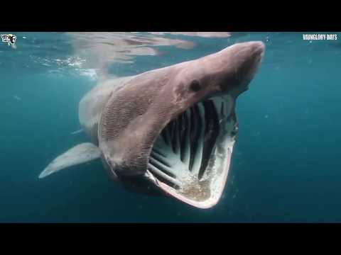 10 Ikan Hiu Terbesar Di Dunia !!! Ada Yang Sebesar Kapal Pesiar