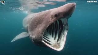 Video 10 Ikan Hiu Terbesar Di Dunia !!! Ada Yang Sebesar Kapal Pesiar MP3, 3GP, MP4, WEBM, AVI, FLV Februari 2018