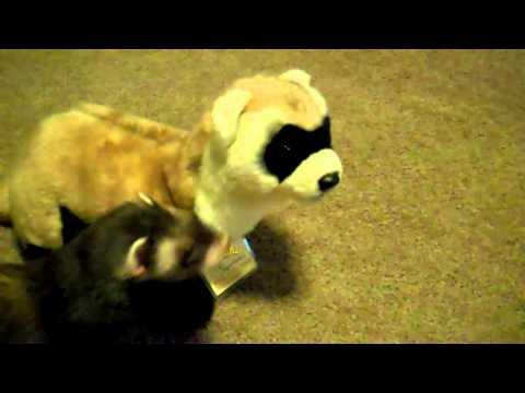 Dot Checking out ferret plush XD