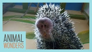 Taking Care of Our Sick Porcupine by Animal Wonders