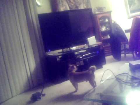 my chihuahua barking