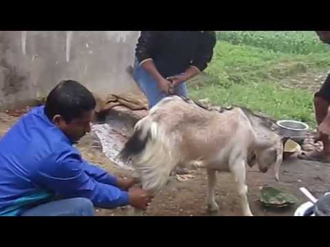 Goat's head cut off!!
