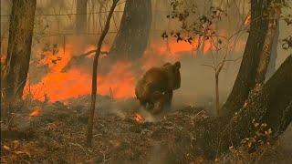 Kobieta ryzykuje życie, aby uratować koalę podczas pożarów w Australii