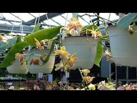 Orchideen Arten: Phalaenopsis - Phal Kenanga
