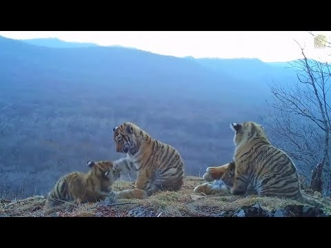 Russland: Seltene Freiland-Aufnahmen zeigen Sibirische Ti ...