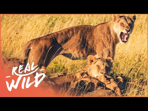 Lions Of Etosha [Lion Pride Survival Documentary] | Wild Things (видео)
