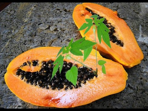 How To Grow Papaya From Seeds - STEP By STEP