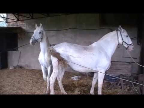 Black Stallion Popping U, Horse Mating - Horse Breeding Videos Compilation