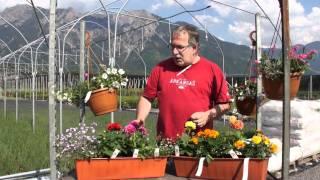 #401 Zwei fröhliche Balkonkisten-Kombinationen für sonnigen Standort (Dahlien)