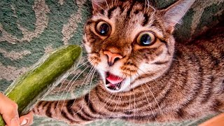 Cats scared of Cucumbers Compilation - Cats Vs Cucumbers - Funny Cats 2017