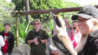 Crikey the kookaburra laughs with the people at the Zoo