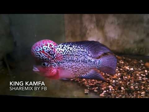 The Best Of Flowerhorn- Red Dragon, Thai Silk, Kamfa, King Kamfa,