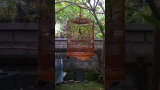 Video Inilah Murai Batu Kitaro yang ditawar Pak Presiden Jokowi MP3, 3GP, MP4, WEBM, AVI, FLV April 2019