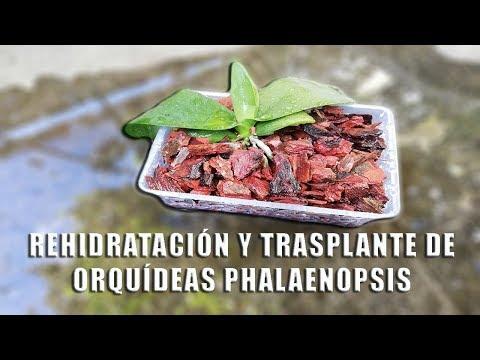 Videos caseros - Rehidratación y trasplante de Orquídeas Phalaenopsis  Orquiplanet