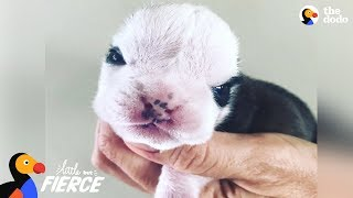 Tiny Bulldog Almost Didn't Make It — Then He Met This Kitten   The Dodo Little But Fierce by The Dodo
