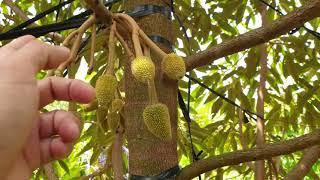 Nông dân trồng xen sầu riêng với cà phê thì xem video này