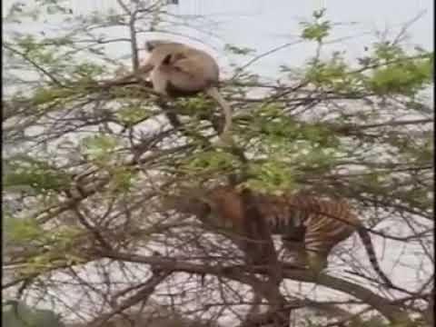 Video शेर और बंदर की लड़ाई में शेर को करना पड़ा हार का सामना download in MP3, 3GP, MP4, WEBM, AVI, FLV January 2017