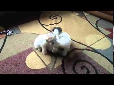 miniature schnoxie miniature schnoxies dachshund miniature schnauzer