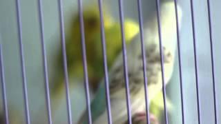 Chim Vẹt HongKong Yến Phụng Hồng Kông