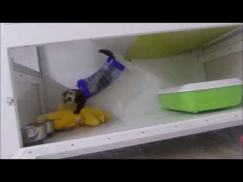 Ferret & stuffed animal