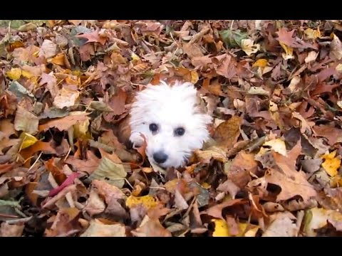 Puppies Playing in Leaves