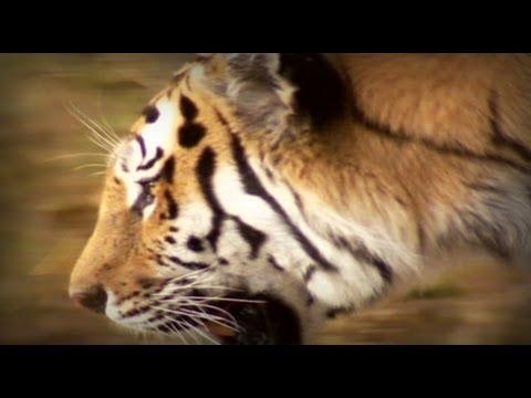 Tigre - El protagonista de esta historia es un cazador formidable en el ocaso de su imperio. Millones de años de evolución le hicieron el mayor felino sobre la Tierr...