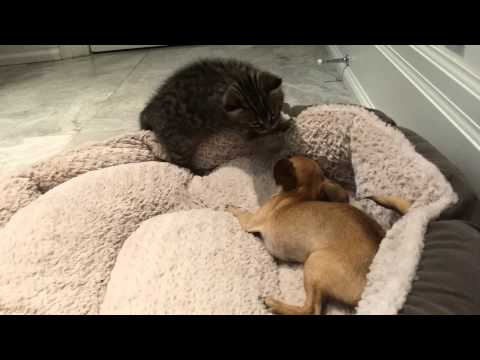 Teacup Chihuahua and rescued kitten play