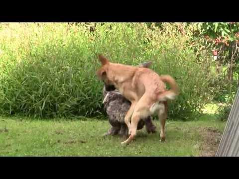 parittelu - Karri Viipurista noudettu sekarotuinen koira on varsinainen Viipurin vilkas ja Duracell Dingo. Virtaa riittää vaikka muille jakaa, varsinainen vieterikoira. ...