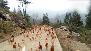 Китайский фермер блестяще выдрессировал стаю своих куриц