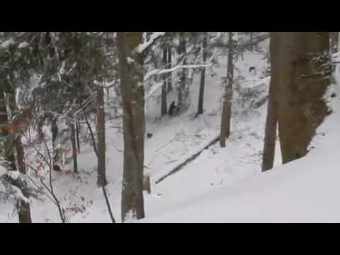 მეტყევემ მგლების ხროვის თავდასხმისგან დათვი და მისი ორი ბელი გადაარჩინა(ვიდეო)