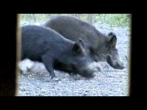 Wild Hog Shot With Slick Trick in Slow Motion