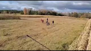 Imigranci uciekają z pola kukurydzy przed kombajnem
