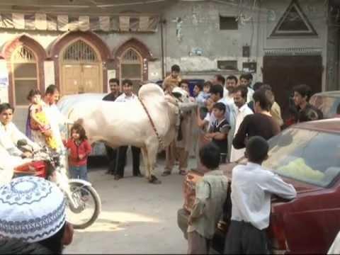 Special Report of Beautifull Bull in Rawalpindi By Hammad Balghari
