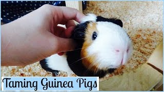 7 tips on taming your guinea pigs :) Some guinea pigs are harder to tame than others because they're extremely skittish ...It takes time and effort to an their trust ...
