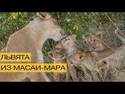 5 неверотяно милых и игривых львят